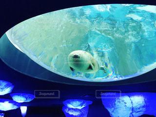 海遊館のアザラシの写真・画像素材[1110203]