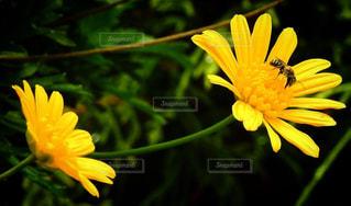 蜜を吸う蜂さんの写真・画像素材[1111426]