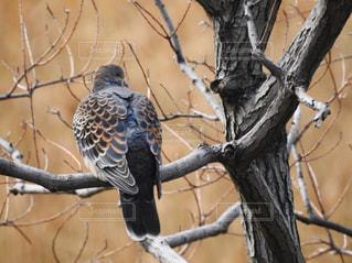 木の枝にとまるハトの写真・画像素材[1113851]