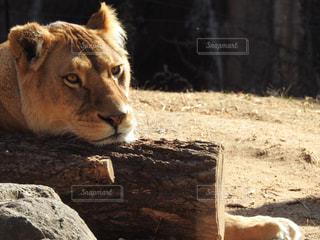 のんびりライオンの写真・画像素材[1123694]