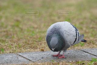 鳩の餌探しの写真・画像素材[1166176]
