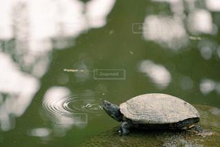 亀の写真・画像素材[1606358]