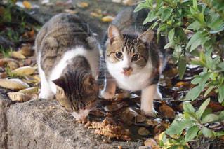 食事中の野良猫の写真・画像素材[1663695]