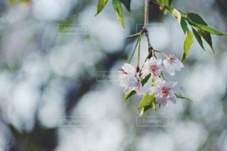 枝垂れ桜の写真・画像素材[1111154]