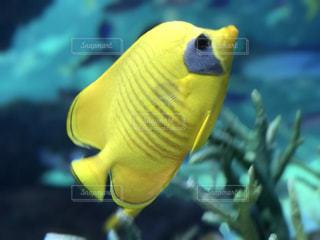 黄色い魚の写真・画像素材[1111718]