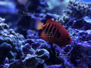 赤い魚の写真・画像素材[1112618]