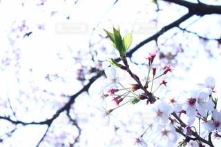 木の枝に桜の写真・画像素材[1111519]
