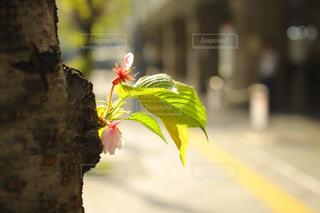葉桜の写真・画像素材[1111520]
