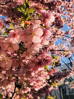 桜のクローズアップの写真・画像素材[3011881]