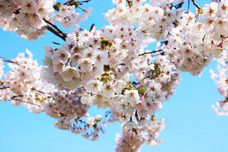 桜の写真・画像素材[1111961]