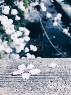 さくらの花びらの写真・画像素材[1112136]