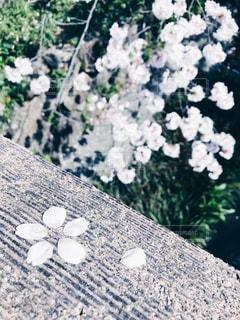 さくらの花びらの写真・画像素材[1112137]