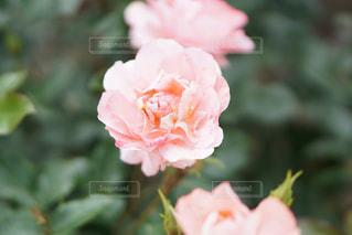 バラの花の写真・画像素材[1353479]