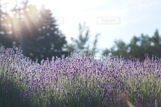 ラベンダー畑の写真・画像素材[1353485]
