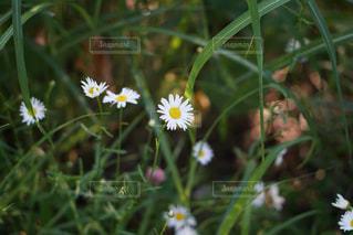 白い花の写真・画像素材[1353487]