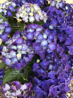 紫のグラデーションの写真・画像素材[1226143]