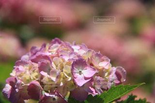 7分咲きの写真・画像素材[1255591]