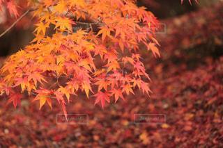 秋真っ只中の写真・画像素材[1267027]