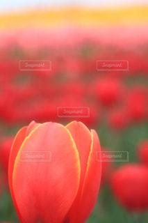 チューリップ畑の写真・画像素材[1373169]