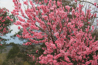桃の花の写真・画像素材[1380739]