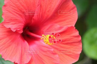 鼻の高い花の写真・画像素材[1416687]