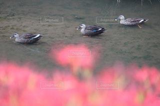鴨もお花見の写真・画像素材[1525653]