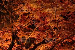夜の紅葉の写真・画像素材[1534956]