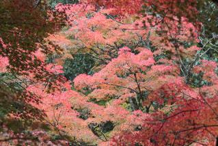 秋化粧の写真・画像素材[1560116]