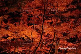 紅葉のライトアップの写真・画像素材[1595005]