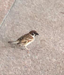 かわいい雀の写真・画像素材[1152403]