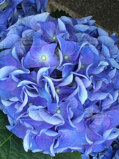 庭先の紫陽花の写真・画像素材[1166094]