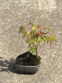 父の盆栽の写真・画像素材[1191468]