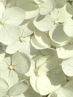 白い紫陽花の写真・画像素材[1260890]