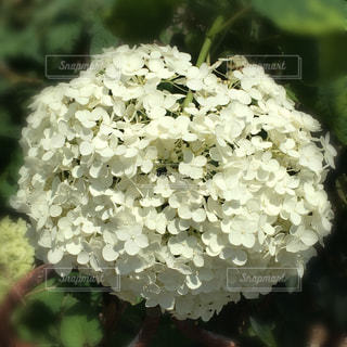 白い紫陽花の写真・画像素材[1260891]