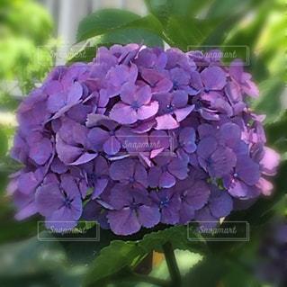 紫陽花の写真・画像素材[1262480]