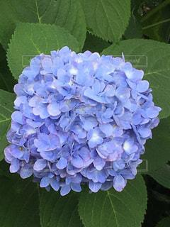 紫陽花の写真・画像素材[1276539]