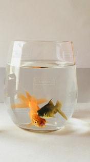 金魚の写真・画像素材[1393145]