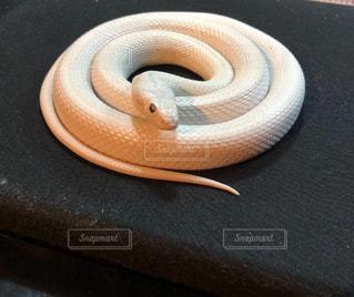 白蛇の写真・画像素材[1746623]