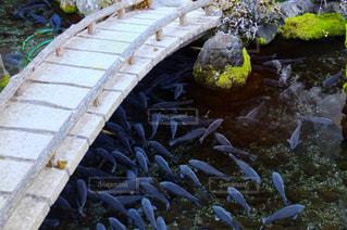 鯉の写真・画像素材[1113496]