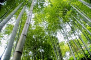 竹の写真・画像素材[1114804]
