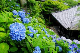 鎌倉 紫陽花の写真・画像素材[1114808]
