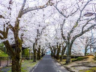 公園の桜の写真・画像素材[1117462]