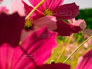 コスモス畑の写真・画像素材[1119399]