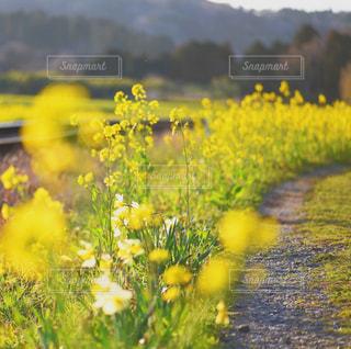 フィールド内の黄色の花の写真・画像素材[1114520]