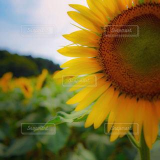 ひまわり畑の写真・画像素材[1358608]