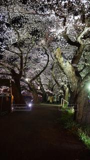 足羽川の桜の写真・画像素材[1114359]