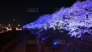 足羽川の桜の写真・画像素材[1114367]