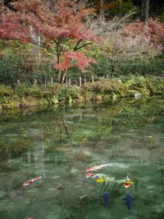 モネの池の写真・画像素材[1114586]