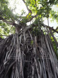 ガジュマルの木の写真・画像素材[2489566]