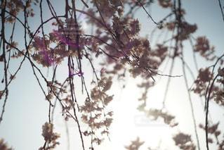 逆光の桜の写真・画像素材[1114966]